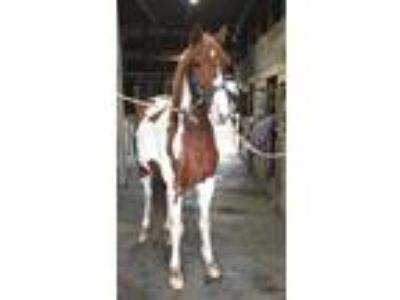 On Farm Lease Spotted Saddle Horse