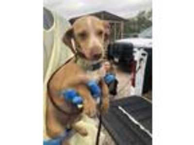 Adopt Rosko a Brown/Chocolate Dachshund / Mixed dog in Edinburg, TX (25237310)
