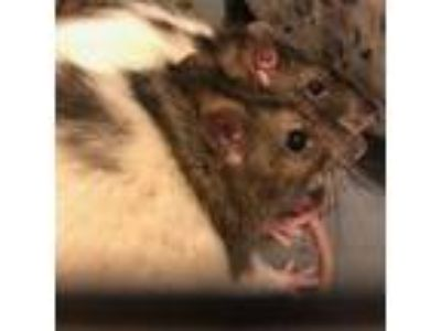Adopt Abbot a Rat small animal in Gainesville, FL (25654580)