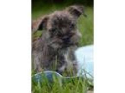 Adopt Quintana a Wirehaired Terrier