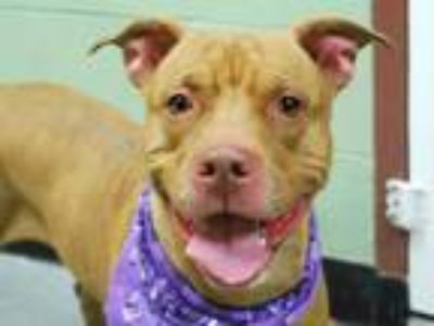 Adopt BASHA a Red/Golden/Orange/Chestnut - with White Pit Bull Terrier / Mixed