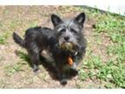 Adopt Piper a Black - with Gray or Silver Terrier (Unknown Type
