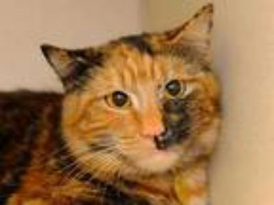 Adopt LULU a Tortoiseshell Domestic Shorthair / Mixed (short coat) cat in