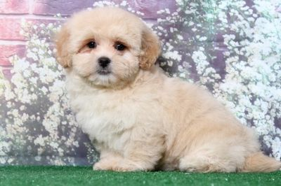 Lhasa-Poo PUPPY FOR SALE ADN-95890 - Abby Gorgeous Little Female LhasaPoo Puppy