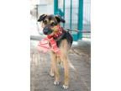 Adopt Dobie - VIDEO a Tricolor (Tan/Brown & Black & White) German Shepherd Dog /