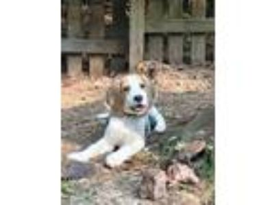 Adopt Bee a Black - with Tan, Yellow or Fawn Hound (Unknown Type) / Beagle dog