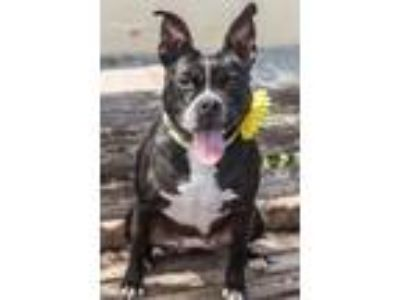 Adopt Phoebe a Black American Pit Bull Terrier / Mixed dog in Philadelphia