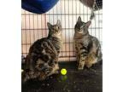 Adopt Jane & Lucy-BONDED PAIR a Domestic Short Hair