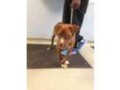 Adopt Turkey a Brown/Chocolate American Pit Bull Terrier / Mixed dog in