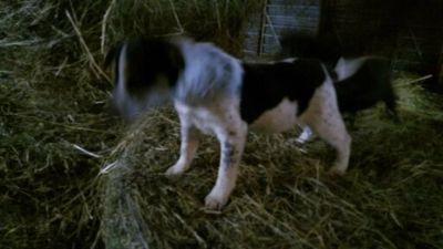 Rat Terrier-Shiba Inu Mix DOG FOR ADOPTION ADN-112760 - Cute Shiba Inu  mix puppies