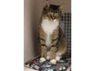 Adopt Tessa Roberts 0717 a Brown or Chocolate Domestic Shorthair / Domestic