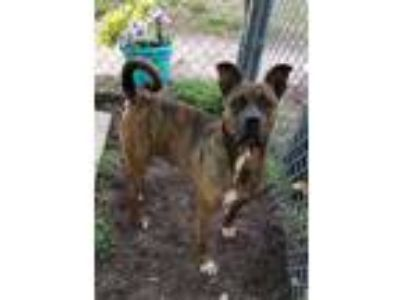 Adopt Grizzly a Plott Hound, Mixed Breed