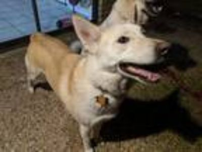 Adopt Remus a Tan/Yellow/Fawn - with White Husky / Australian Shepherd / Mixed