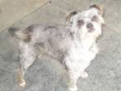 Adopt Dustydew a Schnauzer, Terrier