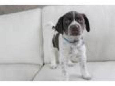 Adopt Blossom a German Shorthaired Pointer, Spaniel