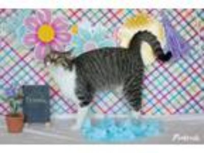 Adopt Frannie a Domestic Short Hair, Tabby