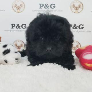 Maltese-Poodle (Toy) Mix PUPPY FOR SALE ADN-105623 - MALTIPOO MIA FEMALE