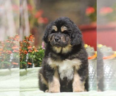 Tibetan Mastiff PUPPY FOR SALE ADN-126799 - Tibetan Mastiff