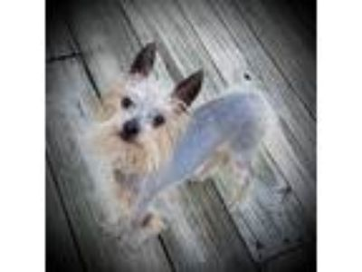 Adopt CHANCE a Yorkshire Terrier, Chinese Crested Dog