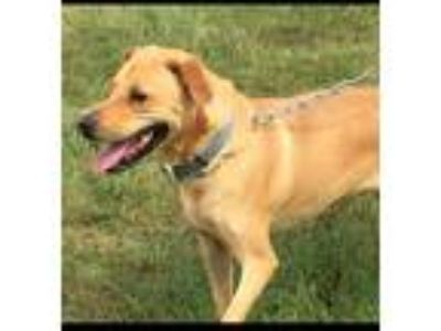 Adopt Charlie Brown / Koby a Labrador Retriever / Mixed dog in Osage Beach