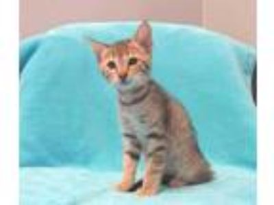 Adopt *BOWIE a Brown Tabby Domestic Shorthair / Mixed (short coat) cat in