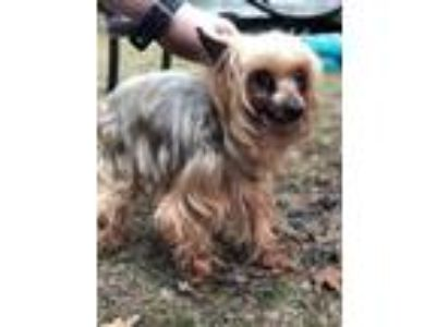 Adopt Levi a Yorkshire Terrier