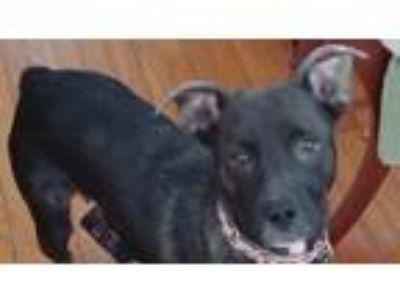 Adopt Valentine a Australian Shepherd, Terrier