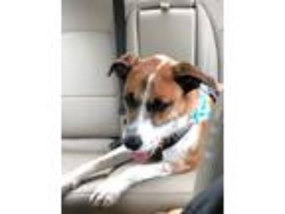 Adopt Sisko a Brown/Chocolate - with White Hound (Unknown Type) / Mixed dog in