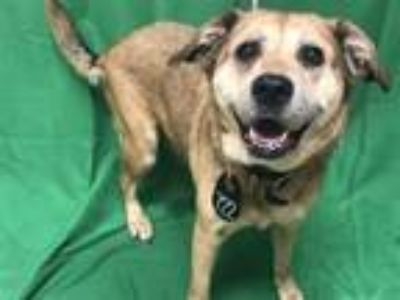 Adopt BAILLEY a German Shepherd Dog, Labrador Retriever