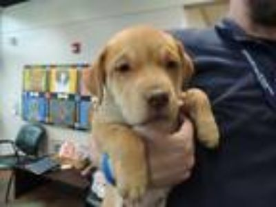 Adopt LEAH a Labrador Retriever, Mixed Breed