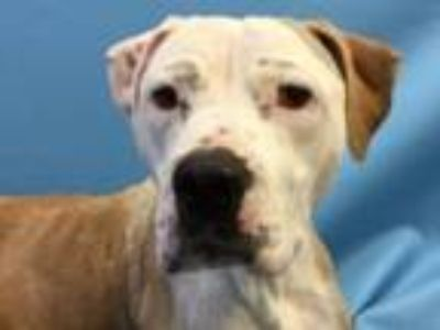 Adopt Layla a Pit Bull Terrier, Mixed Breed
