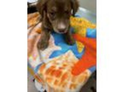 Adopt Toyota a Brown/Chocolate Retriever (Unknown Type) / Dachshund / Mixed dog