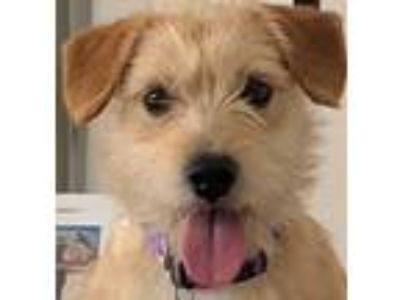 Adopt Cecil a Terrier, Border Terrier