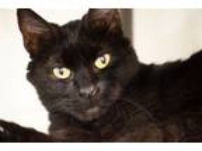 Adopt Sadie Cat a Domestic Short Hair