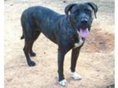 Adopt Suzette a Labrador Retriever, Plott Hound