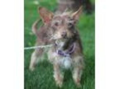 Adopt Jake a Terrier, Mixed Breed
