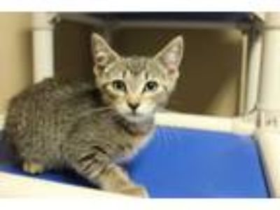 Adopt Gracie a Domestic Short Hair