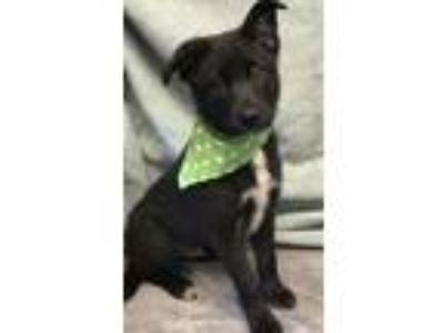 Adopt Border Collie mix pups (Coming 5-11) a Border Collie / Mixed dog in