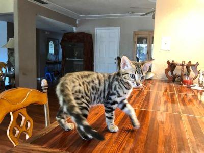 Kittens - Roseville Classifieds - Claz org