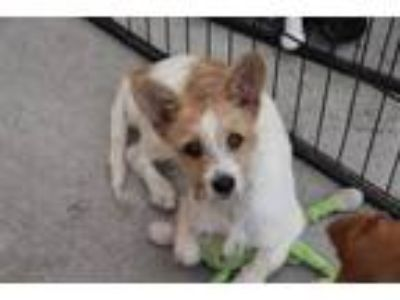 Adopt Jules a Jack Russell Terrier, Parson Russell Terrier