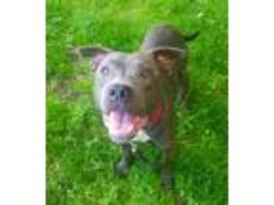 Adopt Russell, 8046 a Pit Bull Terrier