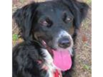Adopt Mollie a Border Collie