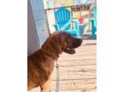 Adopt Bella a Brindle Great Dane / Affenpinscher / Mixed dog in Stagecoach