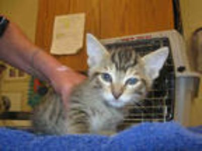 Adopt *ARCHIE a Brown Tabby Domestic Shorthair / Mixed (short coat) cat in Santa