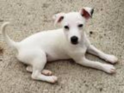 Adopt Murphy a White Jack Russell Terrier / Mixed dog in Circleville