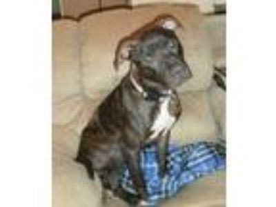 Adopt Malcolm/Courtesy Posting! a Brindle - with White American Pit Bull Terrier