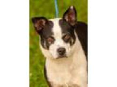 Adopt Barbie a Boston Terrier