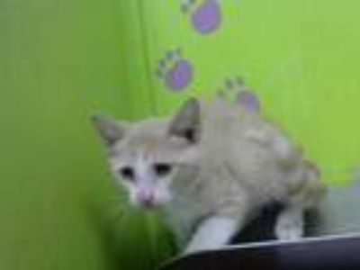 Adopt SAM a Tan or Fawn Tabby Domestic Shorthair / Mixed (short coat) cat in