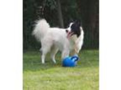 Adopt Oreo a Border Collie