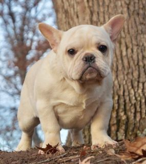 French Bulldog PUPPY FOR SALE ADN-108343 - CHAMPION SIRED FRENCH BULLDOG PUPPIES READY TO GO